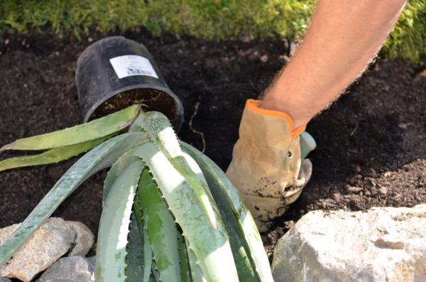 Plantar aloe vera: cuándo y cómo hacerlo - Cómo plantar aloe vera paso a paso