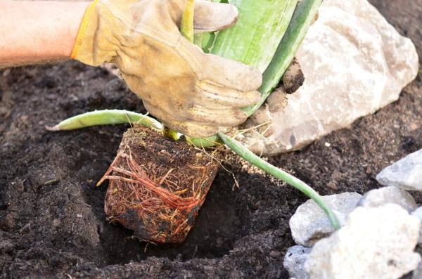 Plantar aloe vera: cuándo y cómo hacerlo