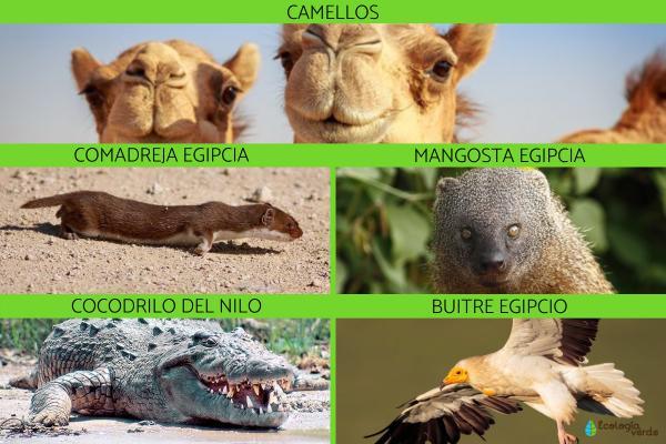 Flora y fauna de Egipto - Fauna de Egipto