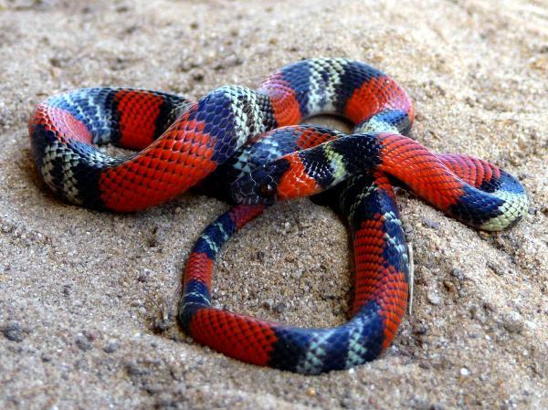 Diferencia entre serpiente coral y falsa coral - Características de la serpiente falsa coral