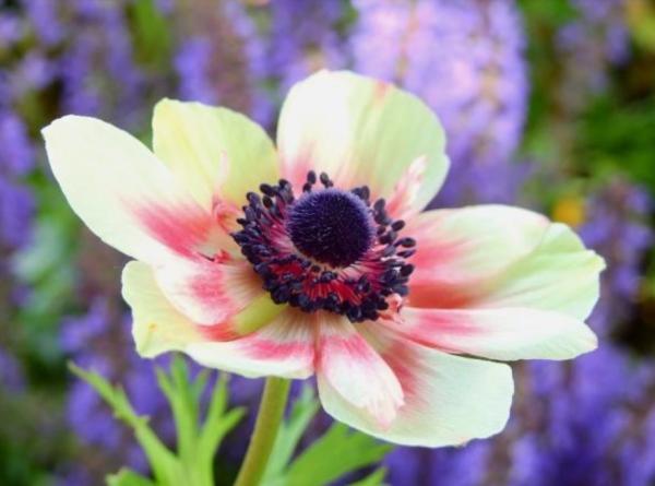 Cuidados de la anemone coronaria - Abono de la anémona
