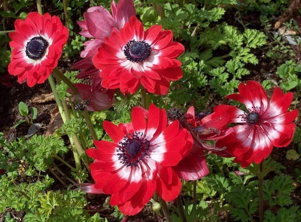 Cuidados de la anemone coronaria - Clima y ubicación para la anemone coronaria