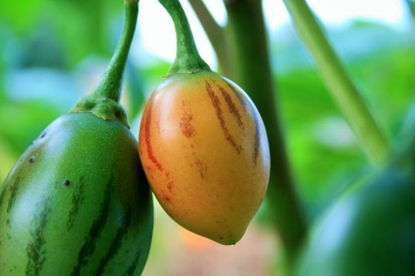 Cultivo de tomate de árbol - Cultivo de tomate de árbol: cuidados básicos