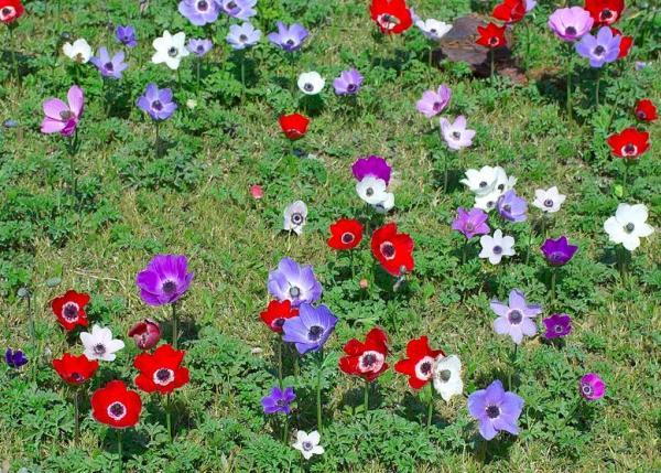 Cuidados de la anemone coronaria - Tierra para la anémona