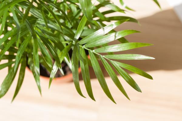 Plantas que producen oxígeno por la noche - Palma de bambú o Dypsis lutescens