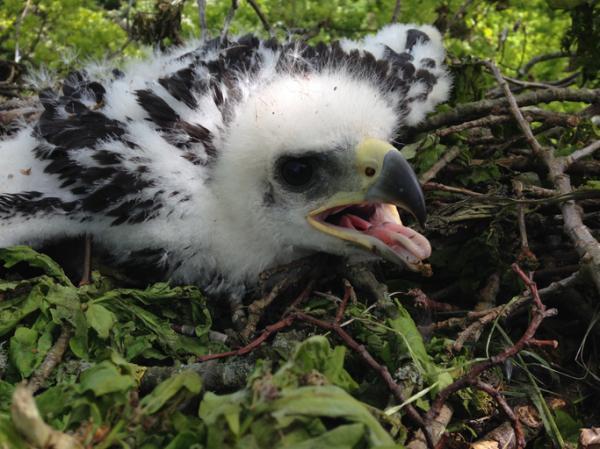 Por qué está el águila real en peligro de extinción - Cómo ayudar al águila real