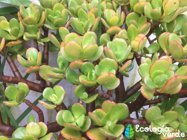 Planta de jade: cuidados - Cómo hacer esquejes del árbol de jade y cómo plantarlos
