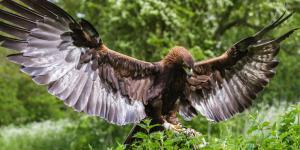 Por qué está el águila real en peligro de extinción