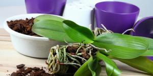 Trasplantar una orquídea: cómo y cuándo hacerlo