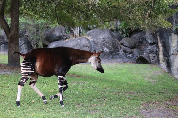 Características del okapi, un animal en peligro de extinción - Características físicas y de comportamiento del okapi