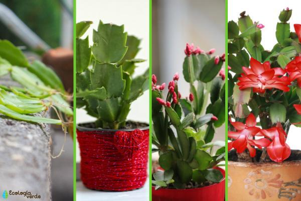 Cómo reproducir el cactus de Navidad - Cómo reproducir el cactus de Navidad paso a paso