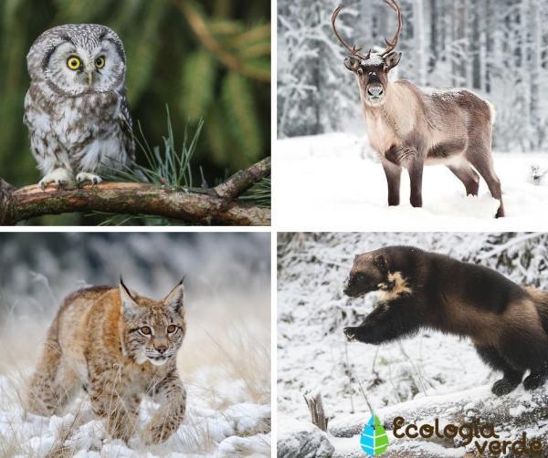 Bosques boreales: características, flora y fauna - Fauna de los bosques boreales