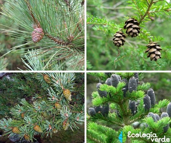 Bosques boreales: características, flora y fauna - Flora de los bosques boreales