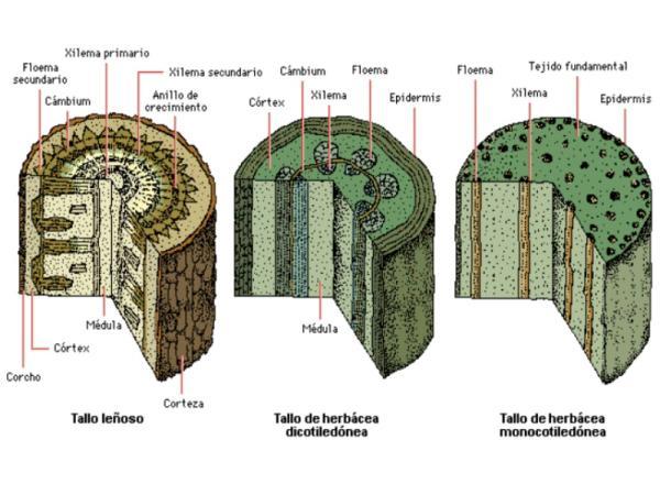 Tipos de tejidos vegetales - Tejidos vegetales: qué son y sus características