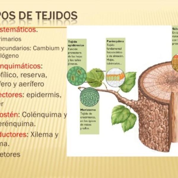 Tipos De Tejidos Vegetales Características Y Funciones