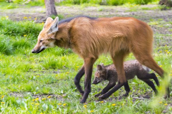 ¿Hay lobos en Argentina? - Lobos en peligro de extinción en Argentina