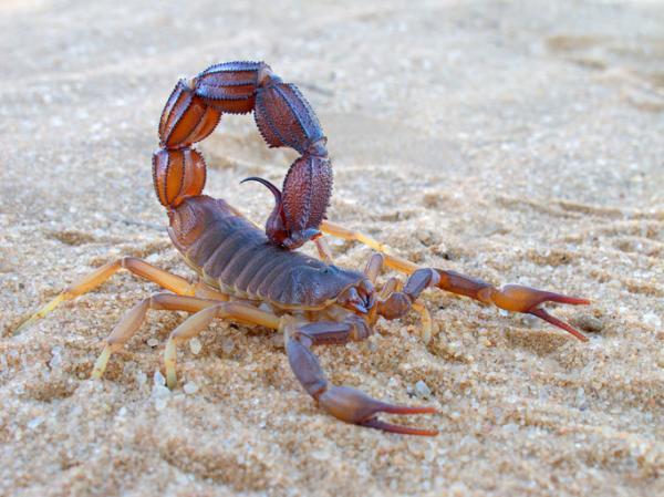 Diferencia entre alacrán y escorpión