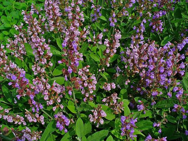 Tipos de salvias - Salvia officinalis