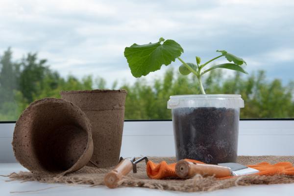 Cómo plantar calabacines - Cómo plantar calabacines en macetas
