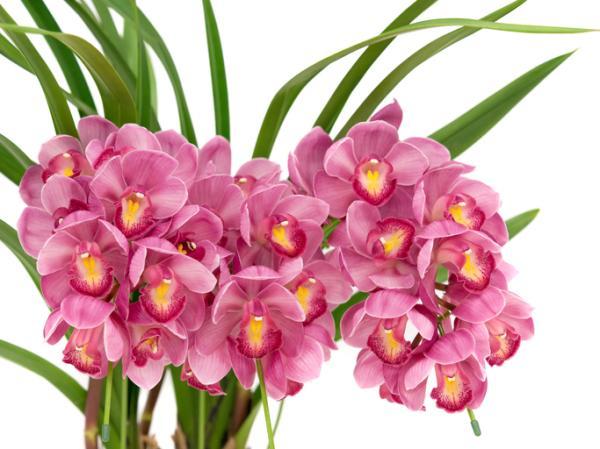Orquídea Cymbidium: cuidados - Trasplante de la orquídea Cymbidium