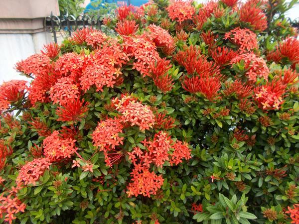 Planta ixora: cuidados - Tipos y variedades de planta ixora