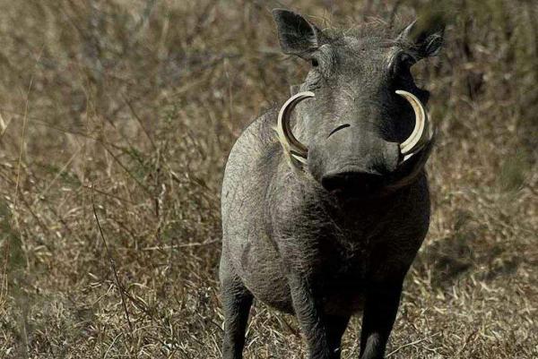 Qué animales son Timón y Pumba - Qué animal es Pumba del Rey León