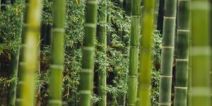 Cómo plantar bambú
