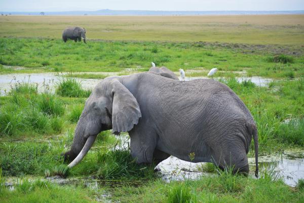 Por qué los elefantes están en peligro de extinción - ¿El elefante africano está en peligro de extinción?