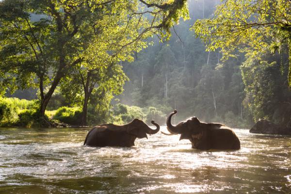 Por qué los elefantes están en peligro de extinción - ¿El elefante asiático está en peligro de extinción?