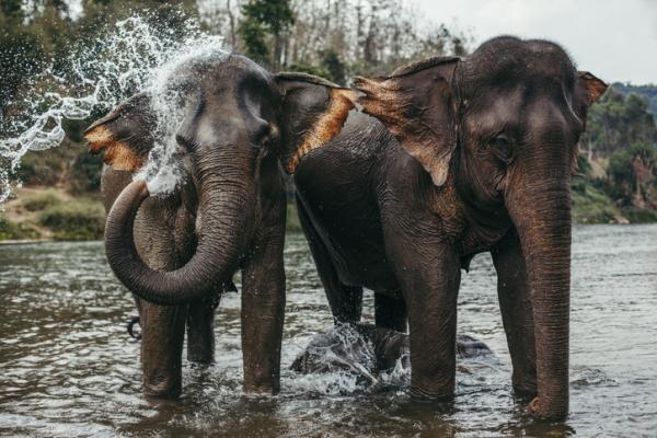 Por qué los elefantes están en peligro de extinción