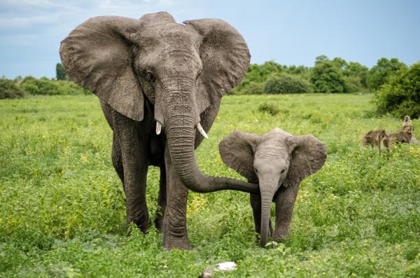 Por qué los elefantes están en peligro de extinción - Por qué los elefantes están en peligro de extinción - causas
