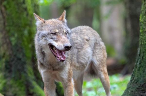 Animales autóctonos de España - Animales en peligro de extinción en España