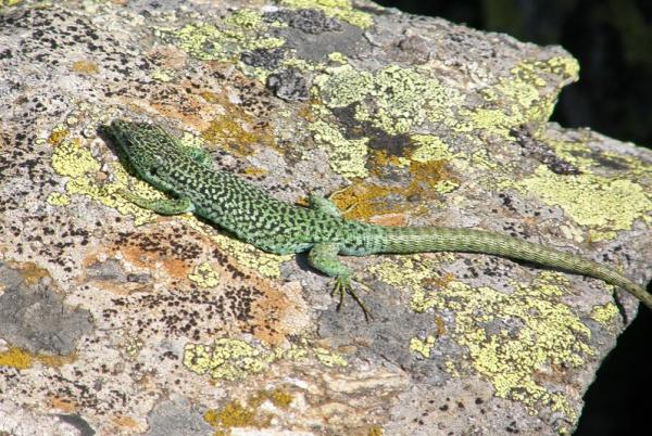 Animales autóctonos de España - Lagartija carpetana (Iberolacerta cyreni)
