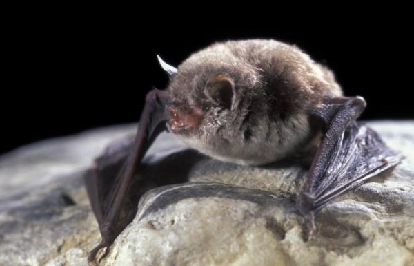 Animales autóctonos de España - Murciélago ratonero patudo (Myotis capaccinii)