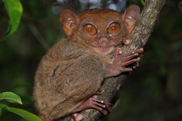 25 animales con los ojos grandes - Tarsero o tarsio (Tarsius bancanus)