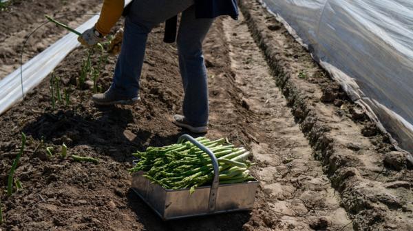 Plantar espárragos: cómo y cuándo - Cuándo cosechar espárragos