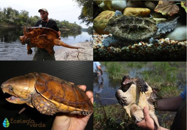 Nombres de especies de tortugas de agua dulce - Especies de tortugas peligrosas de agua dulce