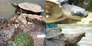 Nombres de especies de tortugas de agua dulce
