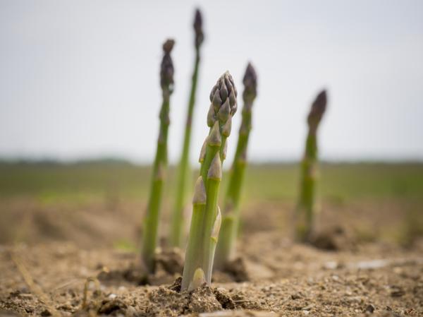 Plantar espárragos: cómo y cuándo