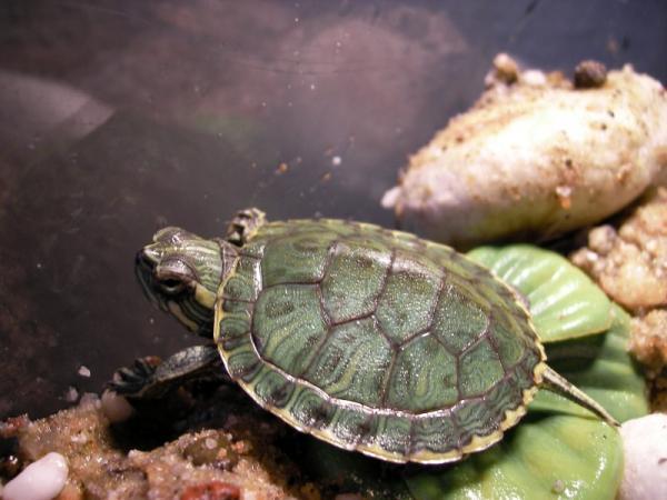 Nombres de especies de tortugas de agua dulce - Tortuga de Cumberland