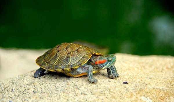 Nombres de especies de tortugas de agua dulce - Tortuga de orejas rojas