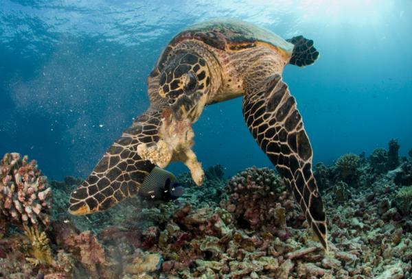 Qué comen las tortugas marinas - ¿Las tortugas marinas son omnívoras, carnívoras o herbívoras?