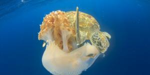Qué comen las tortugas marinas