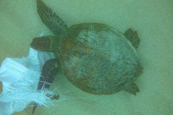 Qué comen las tortugas marinas - Tortugas marinas que comen plástico por error