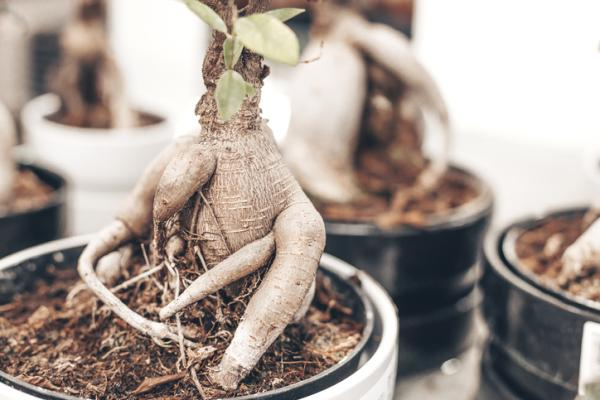 Bonsái ficus ginseng: cuidados - Características del bonsái ficus ginseng