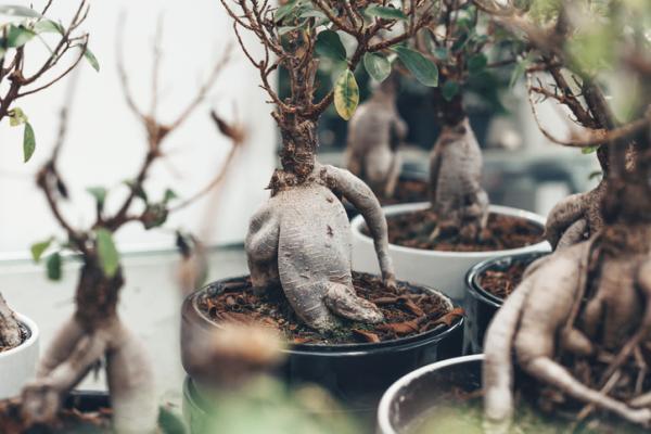 Bonsái ficus ginseng: cuidados - Poda del bonsái ficus ginseng y otros cuidados