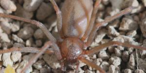 Araña violinista: características, imágenes y síntomas de picadura