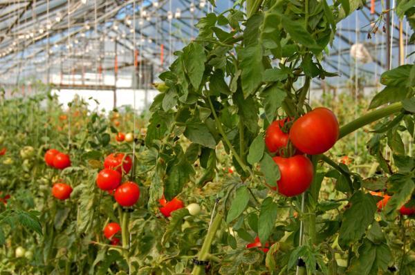Cultivo de tomate en invernadero - Variedades de tomate para invernadero