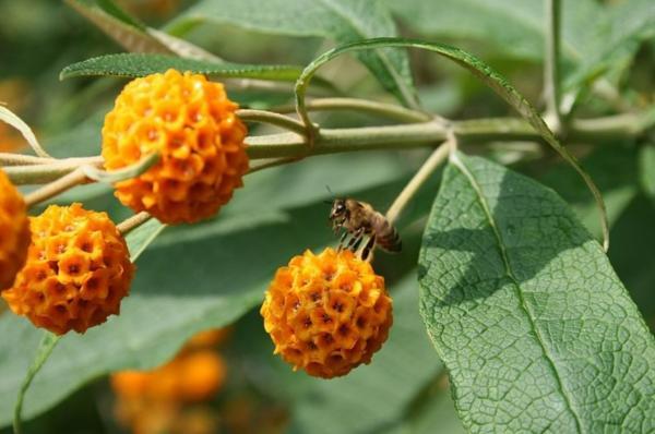 Planta matico: para qué sirve, propiedades, beneficios y contraindicaciones