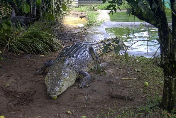 Diferencia entre cocodrilo y caimán - Características del cocodrilo